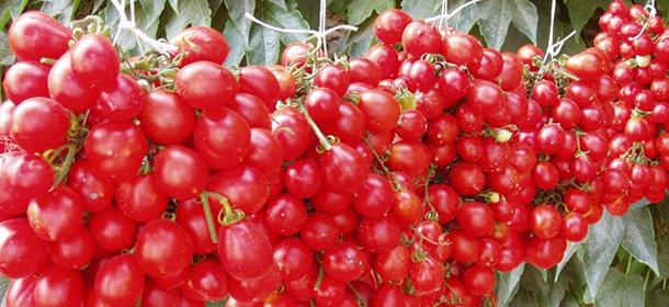 pomodorino-del-piennolo-del-vesuvio-secret-world