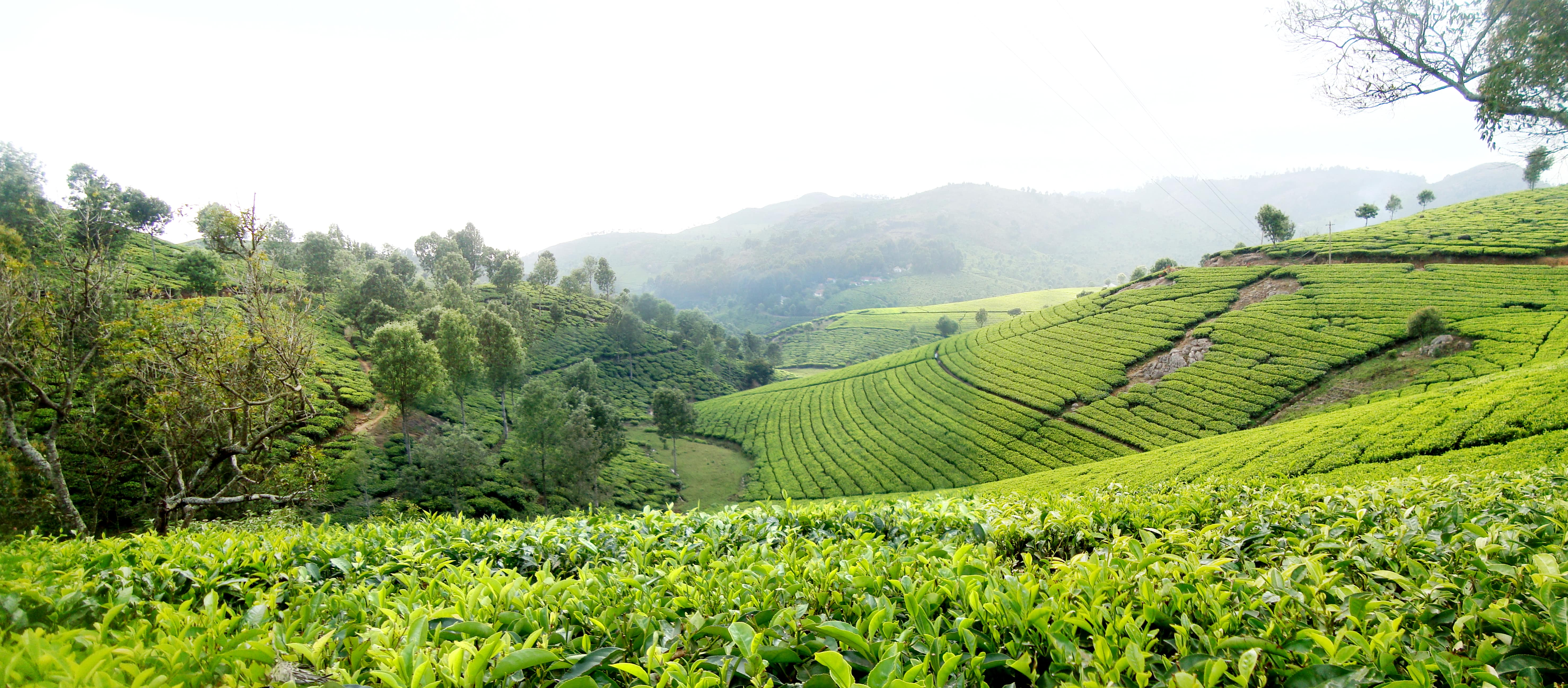 tea-estate-of-coonoor-and-the-famous-nil-secret-world