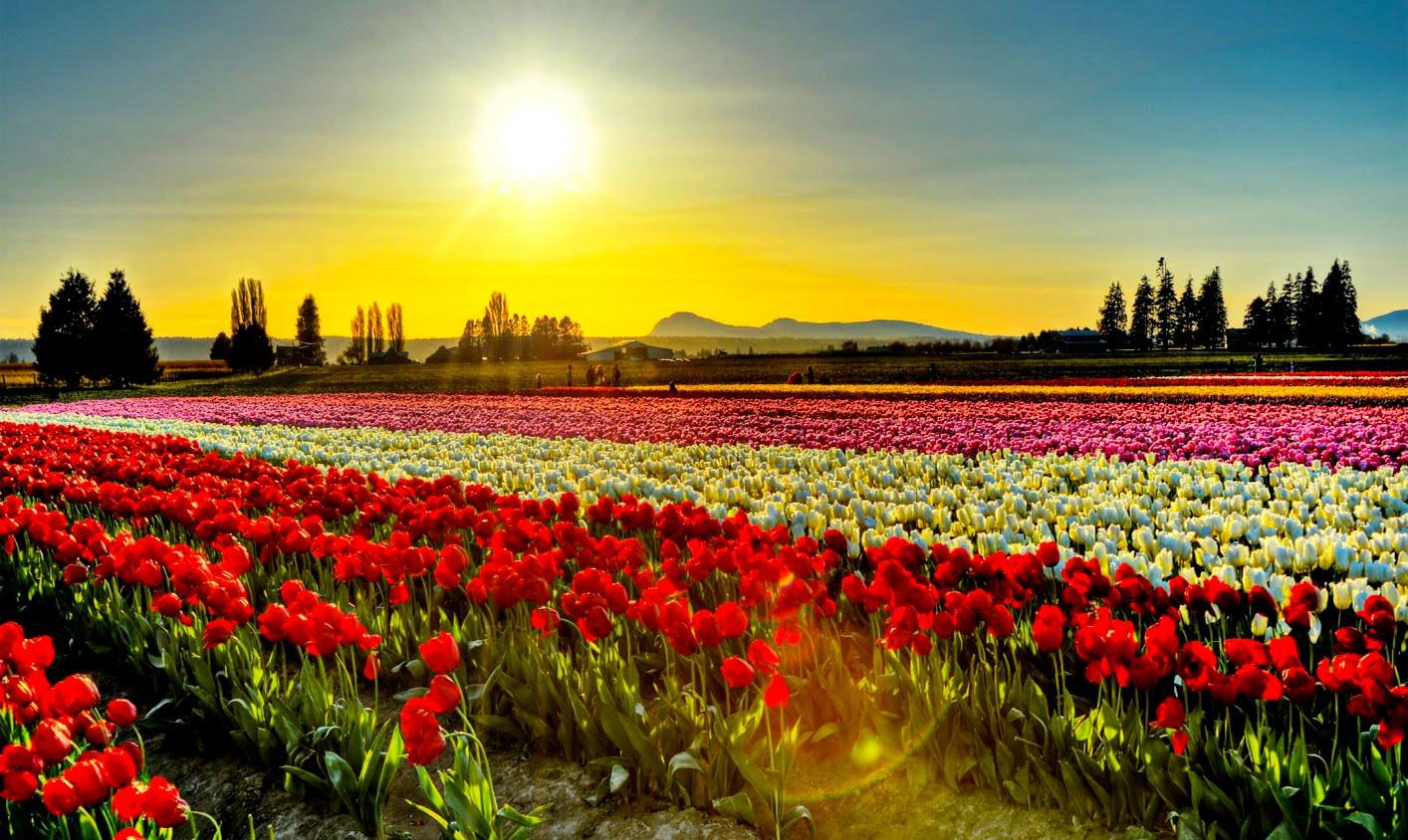 washingtons-skagit-valley-tulip-secret-world