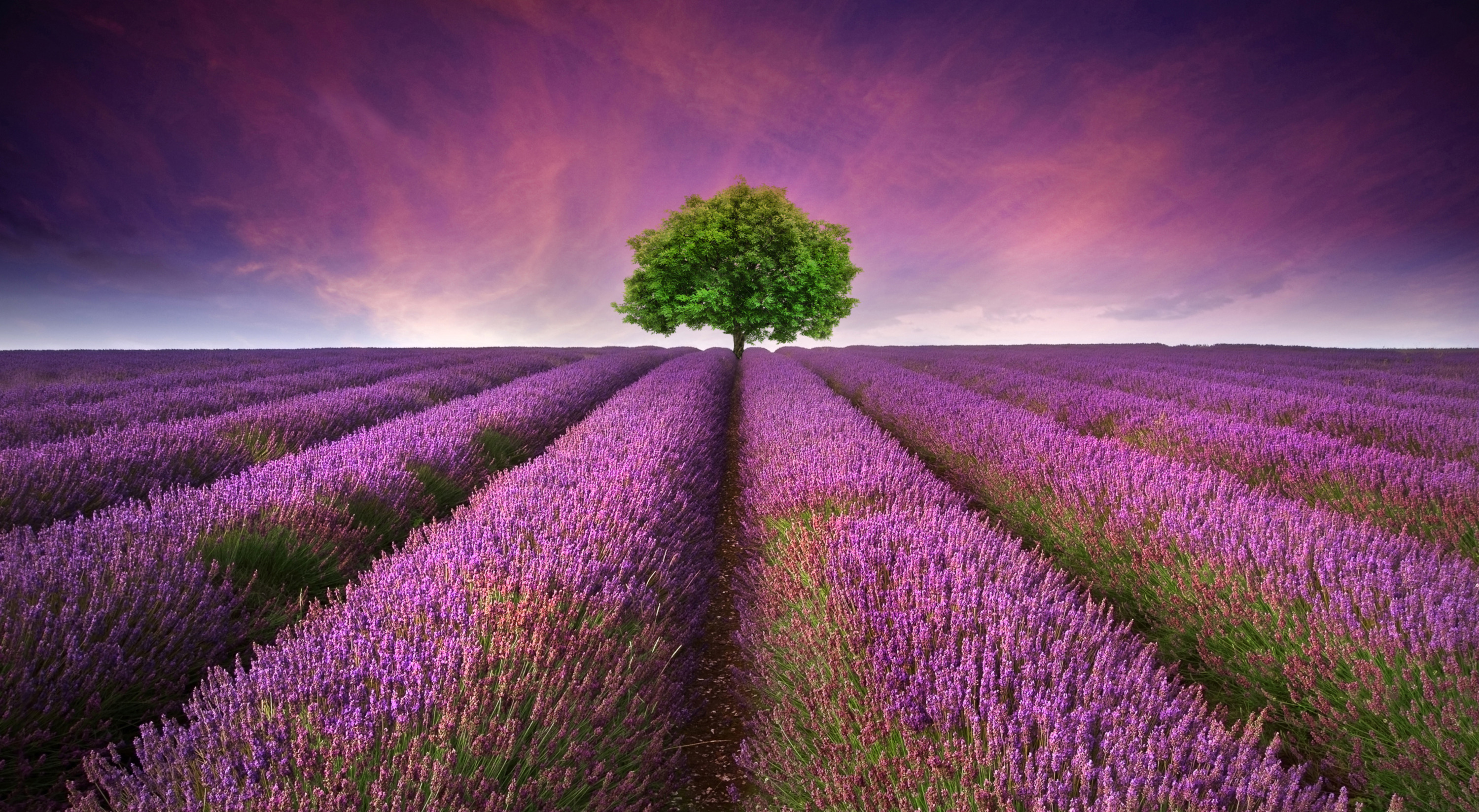 lavender-bloom-from-june-to-august-in-the-secret-world