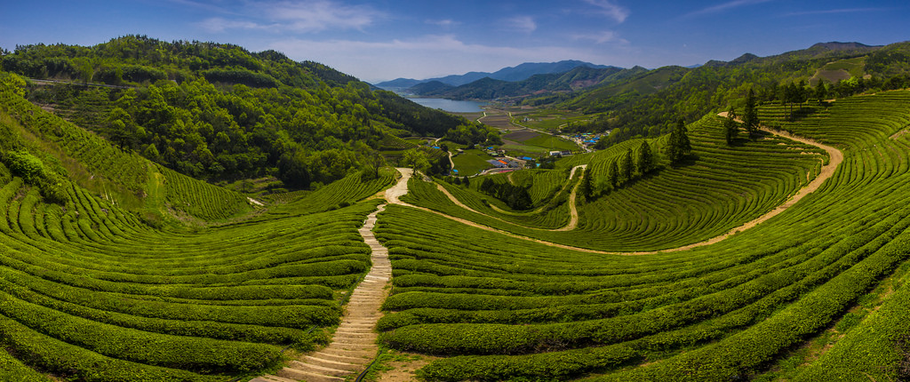 boseong-county-is-famous-for-its-green-tea-secret-world