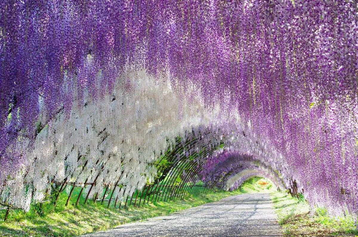 wisteria-flower-tunnel-kawachi-fuji-gar-secret-world